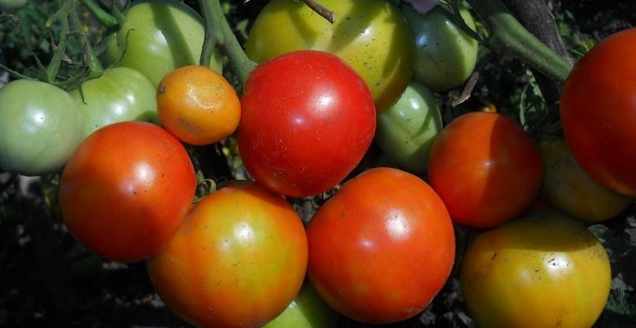 Рятівне дозарювання: як зібрати та зберегти врожай помідорів у несприятливих умовах