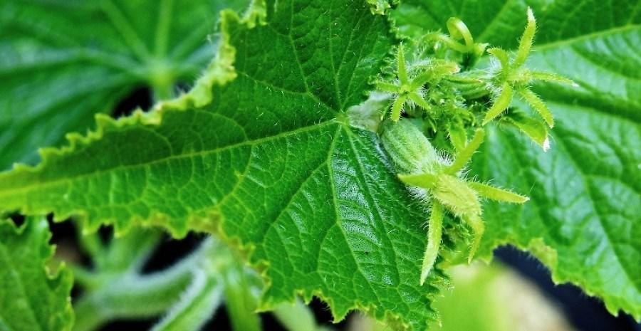 Огород в колыбели: выращиваем рассаду овощей для пленочных укрытий