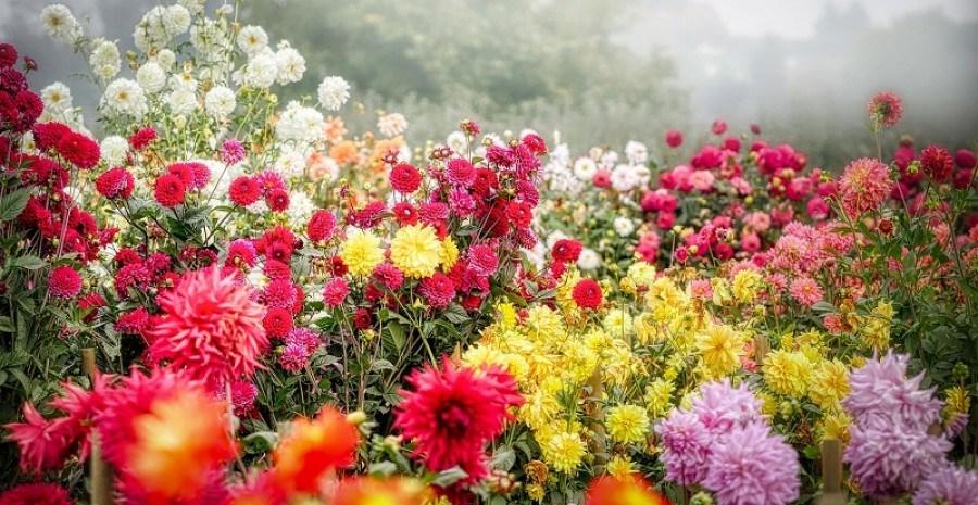 Красуні з великої родини: види та групи садових жоржин