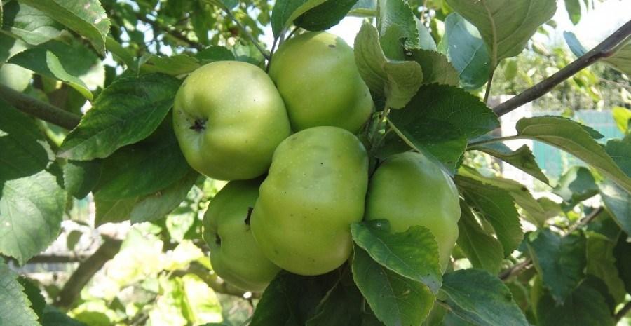 Наши старые друзья: аборигенные сорта яблони