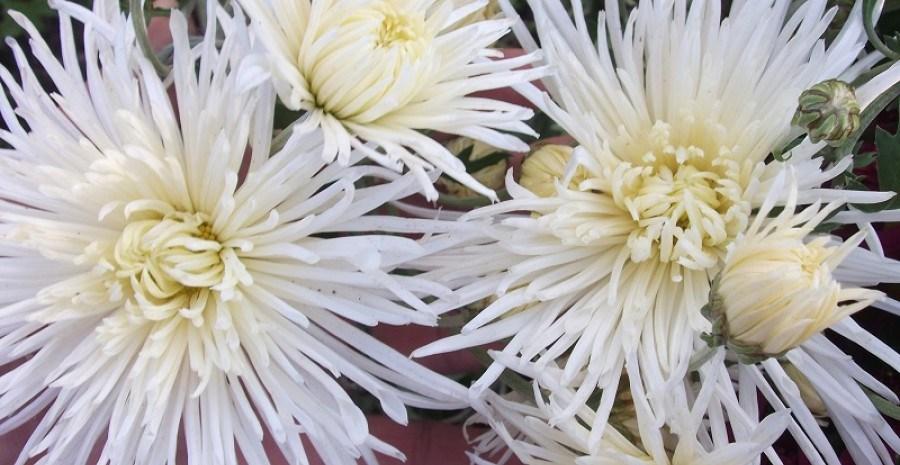 Хризантеми в осінньому саду: посадка, догляд, зимівля та цікаві сорти