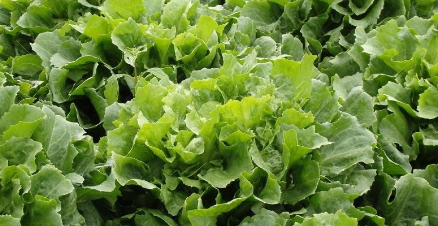 Цикорні салати: ендивій та вітлуф