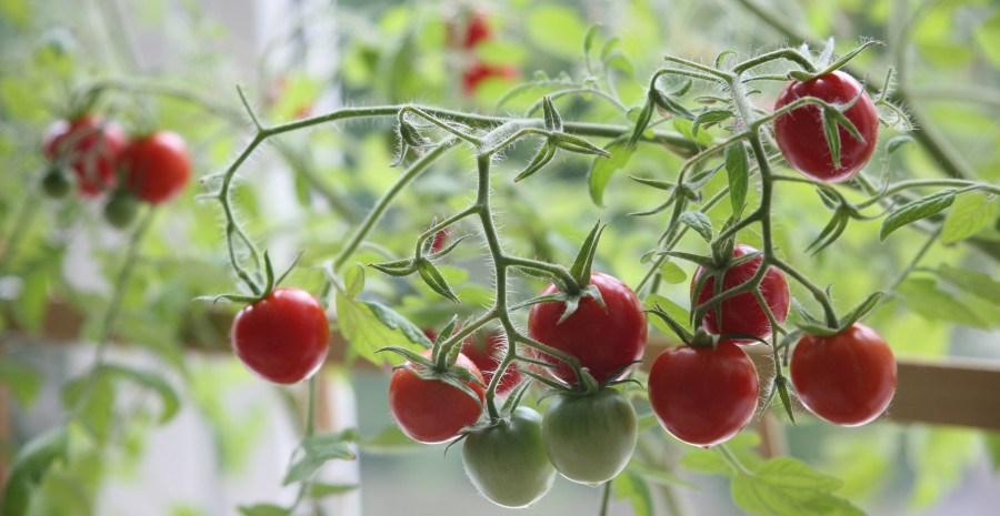 Як виростити помідори у кімнаті