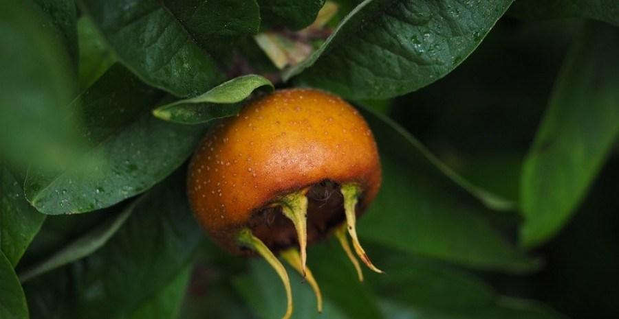 Скромна сестра яблуні: мушмула германська в садах України