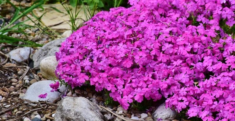 """Справжні """"альпійці"""": квітучі та трав'янисті рослини для кам'янистої гірки"""