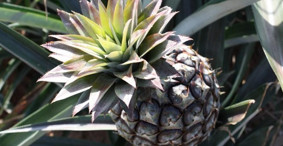 Серце золоте, а душа з колючками: ананас в кімнатних умовах