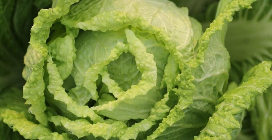 Ніжна, але вередлива: особливості вирощування пекінської капусти