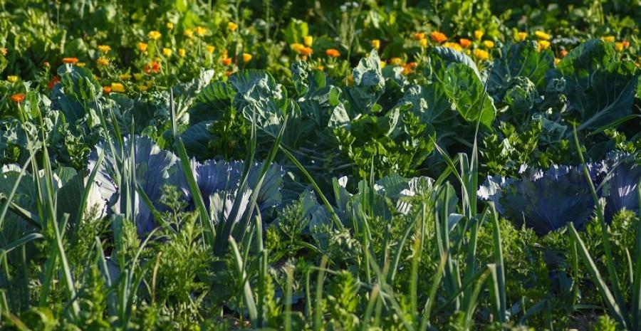 Сіємо густо картоплю та капусту: технологія ущільнених посівів