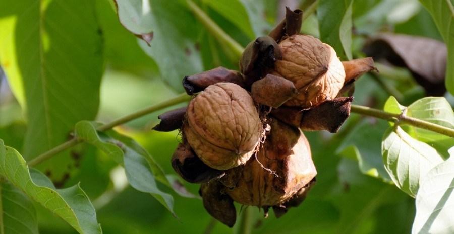 Найшвидший урожай: скороплідний горіх в питаннях і відповідях