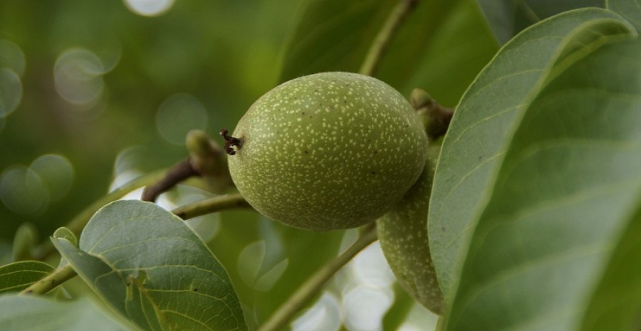 Размножаем грецкий орех: технология зимней прививки