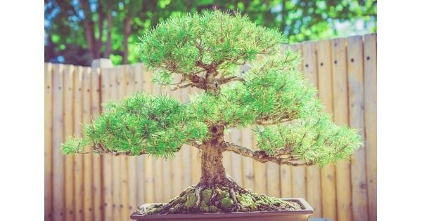 Хвойный бонсай как вырастить мини-бонсай из кипарисовика Элвуди и японского кедра секвойи пихты и других хвойных деревьев Особенности ухода в домашних условиях Как правильно делать обрезку