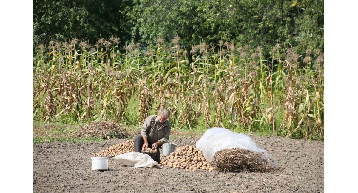 Моль в картофеле что делать