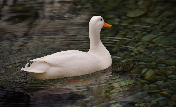 Пернатые красавицы: утки