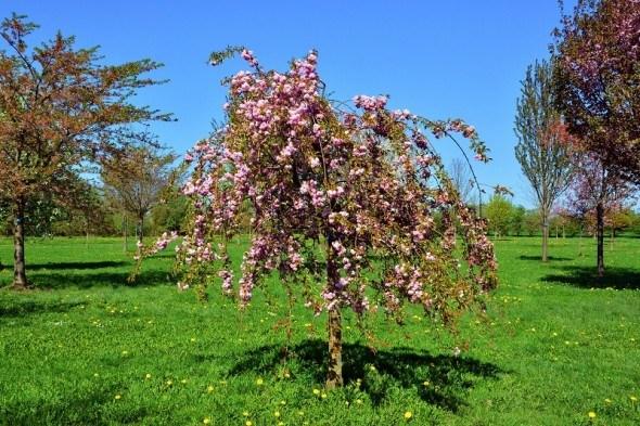 Плакучее деревце: грация и нежность